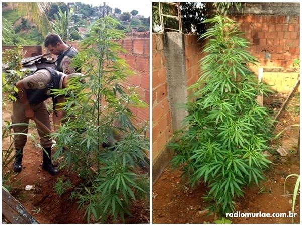 drogas plantadas