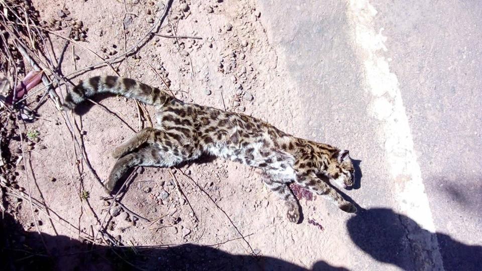 animal onça ou jaguatiri3