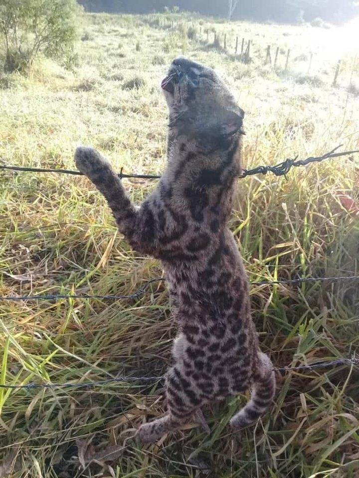 animal onça ou jaguatiri5